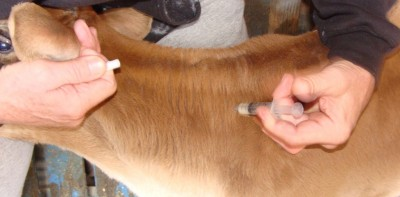 ft-fda-injection-cow