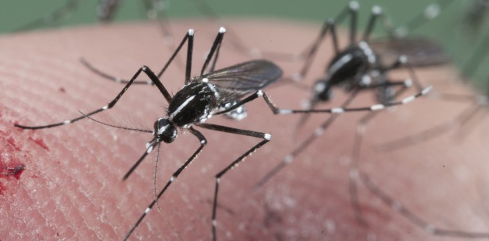 Asian Tiger mosquito biting
