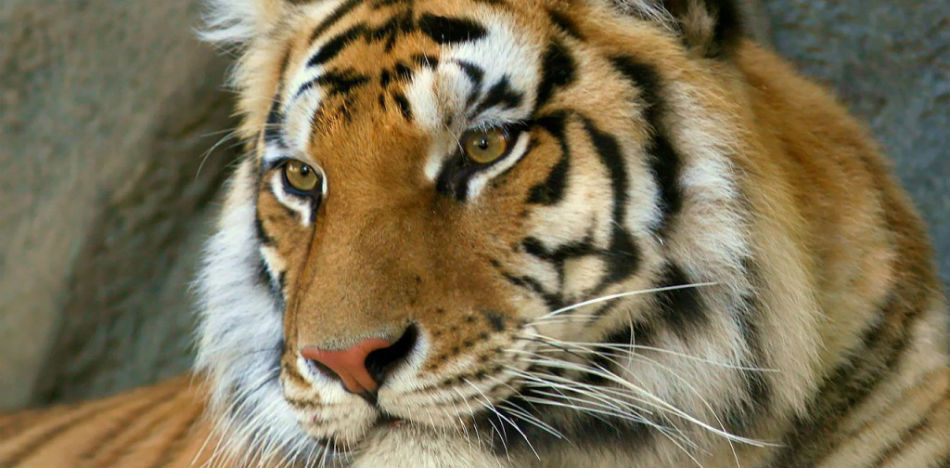 Bengal Tiger Was Found Roaming the Streets in Mexico